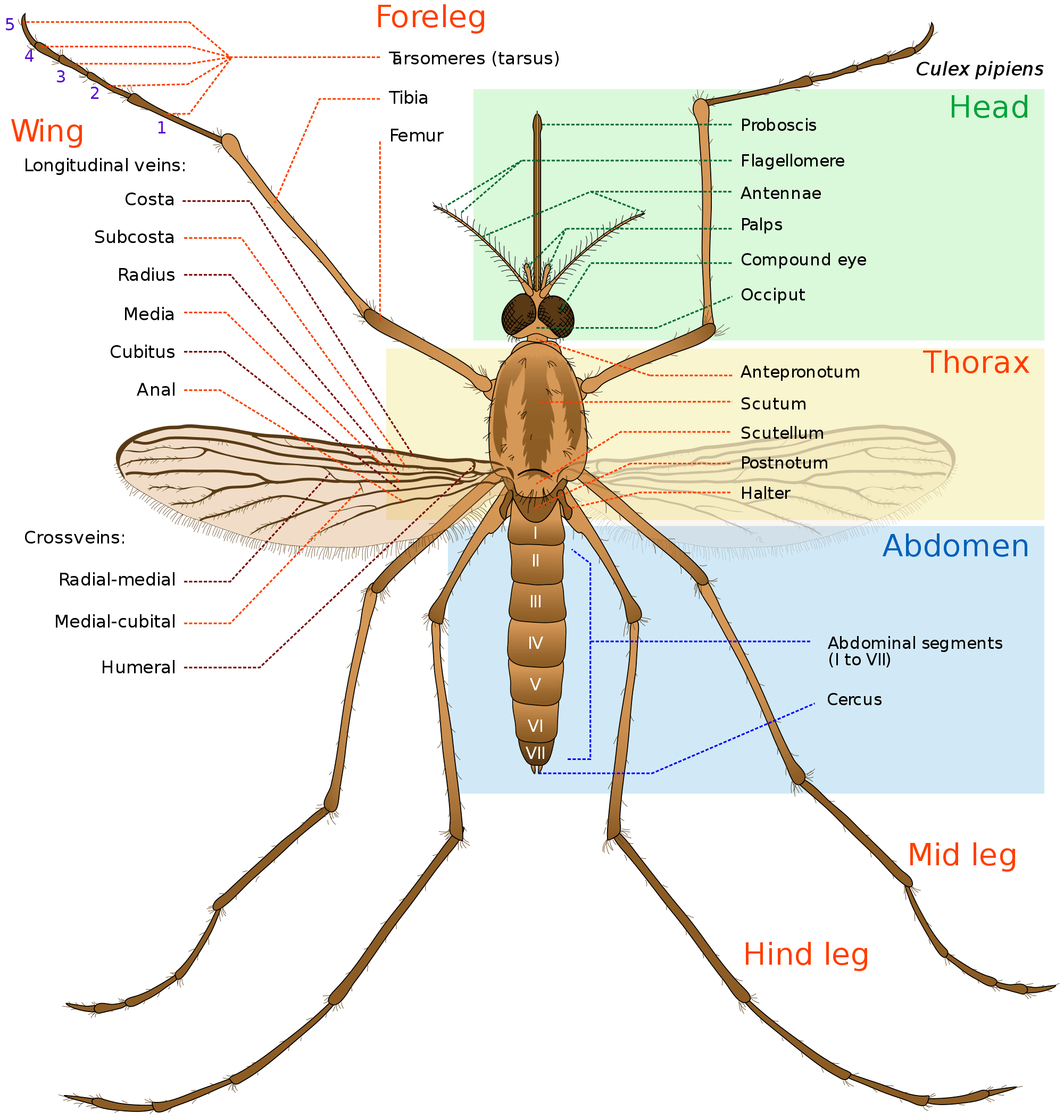 adult mosquito diagram